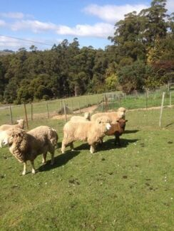 for sale 5 mix breed ewes with 6 lambs Gawler Central Coast Preview