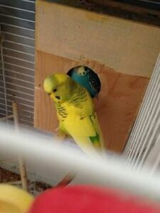 A PAIR OF BREEDING BUDGIES AND CAGE,NEST AND ACCESSORIES