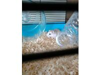 Dwarf Hamster For Sale Through no Fault of his own
