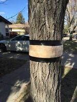 Tree Banding in Regina. Band your trees now!