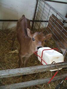 Newborn jersey bullcalves and crosses