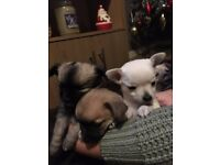 Full Chihuahua Puppies 2 Boys 1 Girl