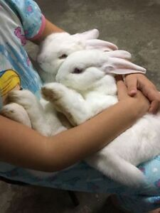 Bonded Bunnies W/ Cage & Accessories