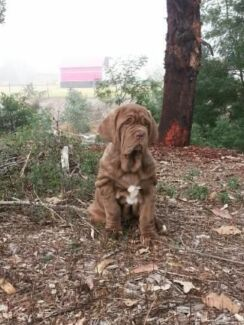 Purebred neapolitan mastiff pups Newnham Launceston Area Preview