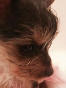 MICRO TEACUP YORKIE CHARITY FOR SALE