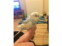 Female budgie with full set up