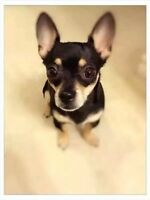 Wanted: Chihuahua lost