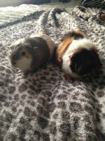 2 Bonded Female Guinea Pigs (Everything Included!)
