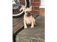 French Bulldogs puppy's