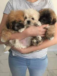 Shoodle puppies
