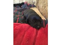 Lurcher Puppies available end of August near T. Wells, cute and lively