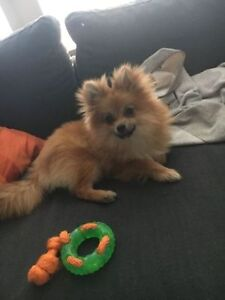 7th Month old Male Pomeranian puppy, well trained!