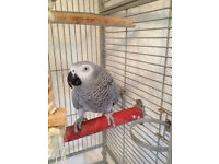 African Grey Parrot with Cage and Travel Cage