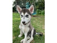 Husky puppies looking for forever homes