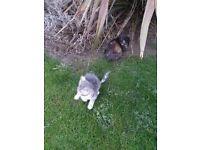 2 mixed bengals kittens