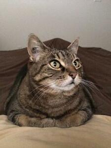 "Adult Female Cat - Domestic Short Hair: ""Emily"""