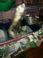 Gentle Male Ferret for sale Price includes cage and accessories