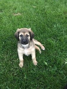 Paws for Love dog rescue has a 8 week shep cross for adoption