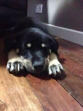 ROGUE Male Kelpie x Koolie Puppy Rosewood Ipswich City Preview