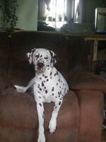 DALMATIAN litter due in April 22 TAKING DEPOSITS NOW