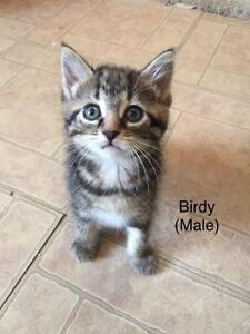 "Baby Male Cat - Domestic Short Hair - brown: ""Birdy"""