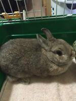 1 year ols polish dwarf rabbit