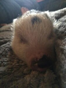 3 1/2 Month old Neutered Male Pot Belly Pig