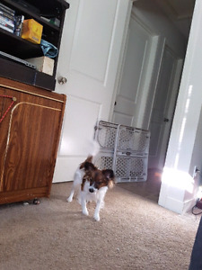 Purebred Papillon for good home