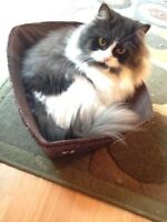 Ragdoll/Persian 3 yr old Female cat