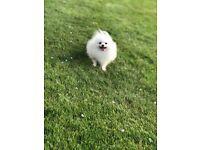 Pomeranian white cream boy