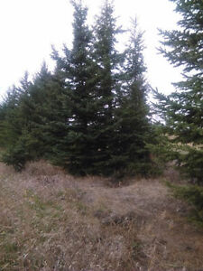 16Ft. To 20Ft. Spruce Trees