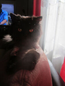 CHAT PERSAN A VENDRE