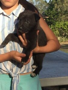 German Shepard cross kelpie pup for sale Cedar Vale Logan Area Preview