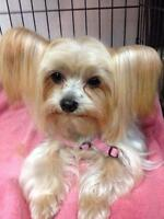 LOOKING FOR THIS COLOUR ON YORKIE PLEASE GIRL