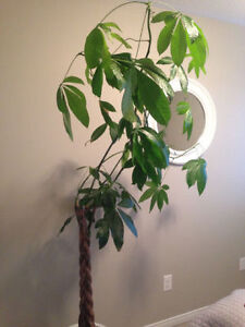 Tall Healthy Money Tree/Plant