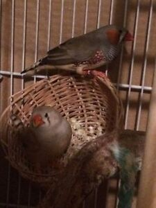 Breeding Pair of Finches - with cage and accessories