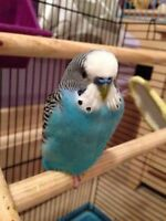 looking for a sky blue male budgie
