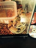 baby rainbow boa and tank. baby pastel ball python plus tal