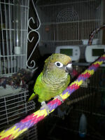 Maroon Belly Conure with Cage & Accessories