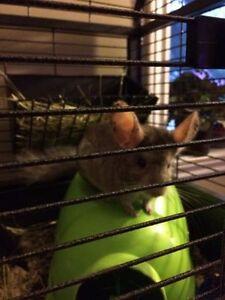 Chinchilla mâle avec la grande cage et tout