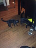 2 Black Cats Free to Good Home