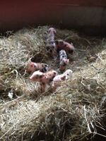 Miniature Spotted Piglets!!!