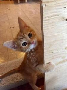 "Baby Male Cat - Domestic Short Hair-orange: ""Lime"""