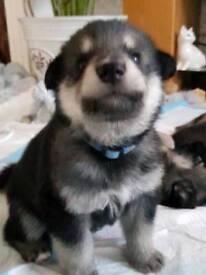 Alaskan Shepherd Puppies