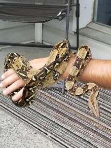 Youngboa for sale