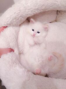 Beautiful White Siamese Kittens