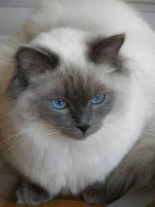 RAGDOLL PUREBRED W/ PAPERS REGISTERED 2.5 YEARS OLD