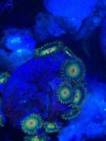 saltwayer coral - zoas - Gauging interest