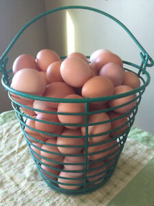 fresh free range eggs for hatching and eating