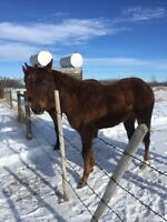 2 year old standing stud colt